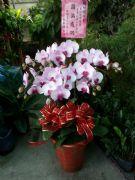 六株蘭花盆栽