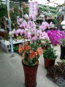 7株粉色蝴蝶蘭盆栽