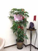 旺旺樹落地盆栽