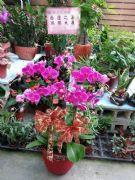 六株紅花蝴蝶蘭盆栽