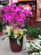 12株蝴蝶蘭盆栽