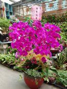 12株紅花蝴蝶蘭盆栽